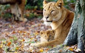 Обои осень, львица, львёнок, материнство