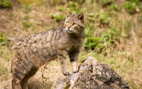 Картинка кошка, камень, лесной кот, дикий кот