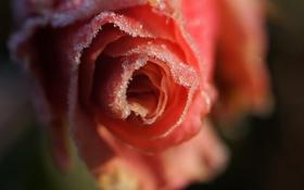 Картинка розовая, лепестки, роза, цветок, снежинки, иней, холод