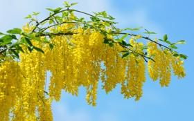 Обои природа, ветка, акация, жёлтый, цвет