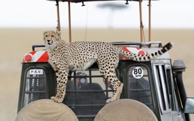 Картинка кошка, взгляд, гепард, автомобиль