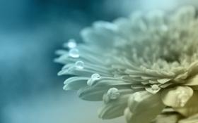 Обои капли, голубой, лепестки, цвета, цвет, цветок, белый