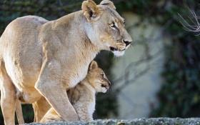 Обои кошки, профиль, детёныш, котёнок, львица, львёнок, ©Tambako The Jaguar