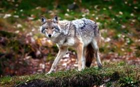 Картинка лес, природа, фон, Coyote