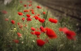 Картинка макро, цветы, маки, лепестки, красные
