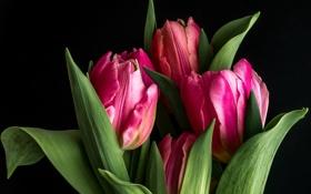 Обои тюльпаны, бутоны, чёрный фон