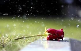Обои вода, капли, роза