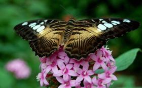 Обои бабочка, насекомое, цветы, flowers, butterfly
