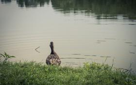 Картинка трава, вода, озеро, пруд, птица, перья, утка
