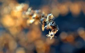 Обои цветы, сухие, соцветия, боке