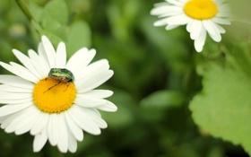 Картинка зелень, цветок, жук, весна, ромашка, панцирь, золотые полоски