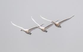 Картинка птицы, полёт, лебеди
