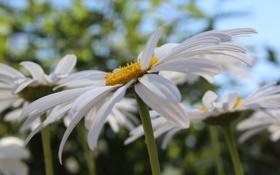 Обои лето, цветы, ромашки, лепестки, ромашка, лепесток
