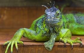 Обои ящерица, игуана, зелёная