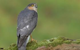 Обои птица, мох, бревно, спиной, оперение, ястреб-перепелятник