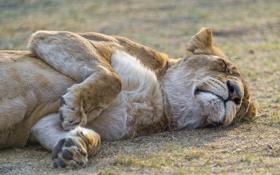 Обои кошка, отдых, сон, львица, ©Tambako The Jaguar