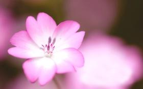 Обои розовый, цветок, белый, цвет, макро, нежность
