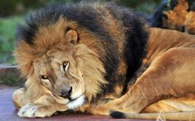 Картинка кошка, взгляд, отдых, лев