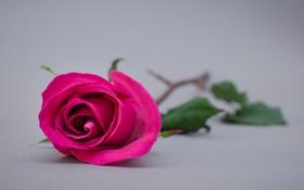Обои цветочек, wallpaper, стебель, розовая, лепестки, роза, widescreen