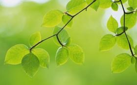 Обои зелень, листья, макро, природа, green, ветка, зеленые