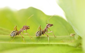 Обои насекомые, лист, муравьи, пара