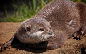 Картинка взгляд, мордочка, Выдра, Otter