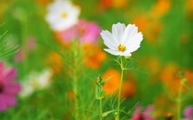 Картинка зелень, белый, цветок, лето, цвета, лепестки, клумба