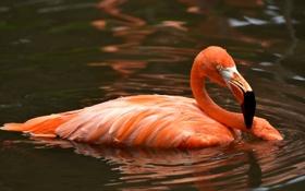 Обои вода, птица, перья, клюв, фламинго