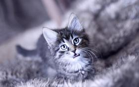 Обои морда, котенок, взгляд, кошка