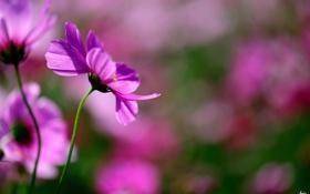 Картинка цветы, природа, розовая, фокус, размытость, космея