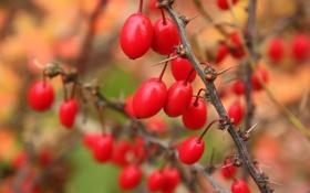 Обои осень, ягоды, шипы, красные