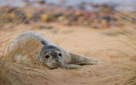 Обои песок, трава, тюлень