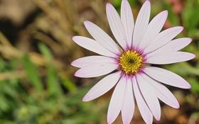 Обои цветок, розовый, лепестки