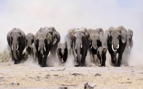Картинка природа, слоны, строй