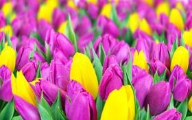 Обои поле, тюльпаны, жёлтые, сиреневые