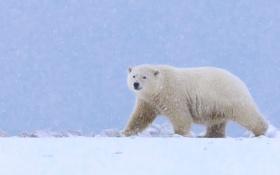 Обои снег, медведь, Аляска, белый медведь, полярный медведь