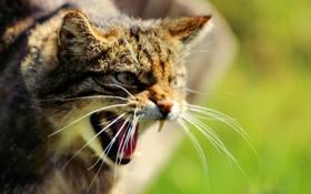 Обои морда, клыки, дикая кошка, Шотландская, The Scottish Wildcat