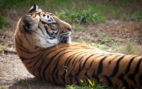 Картинка кошка, трава, тигр, отдых, профиль, амурский