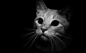 Обои кошка, взгляд, чёрный фон
