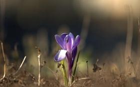 Обои цветок, фон, сиреневый, размытость, крокус, весенний