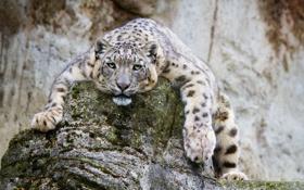 Обои камни, дикая кошка, скалы, ирбис, зоопарк, снежный леопард, морда