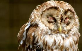 Обои сова, птица, оперение, закрытые глаза, пестрая