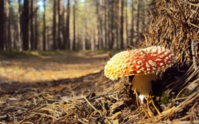 Обои лес, макро, гриб