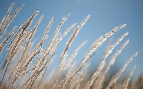 Обои небо, трава, природа, колоски