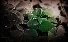 Картинка листья, вода, капли, макро, природа, растение, клевер