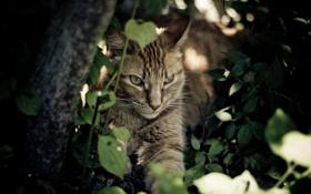 Обои кошка, кот, морда, заросли, отдых, тень