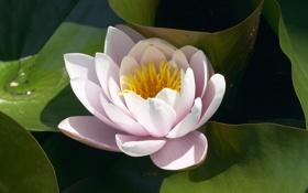 Обои цветок, листья, лепестки, кувшинка, водоем