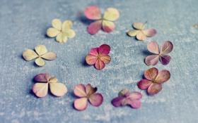 Обои vintage, petals, Hydrangea paniculata, A circle of nine