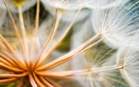 Картинка макро, цветы, одуванчик, растение, лёгкость