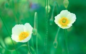 Обои весна, маки, зелень, белые, легкость, растения, природа